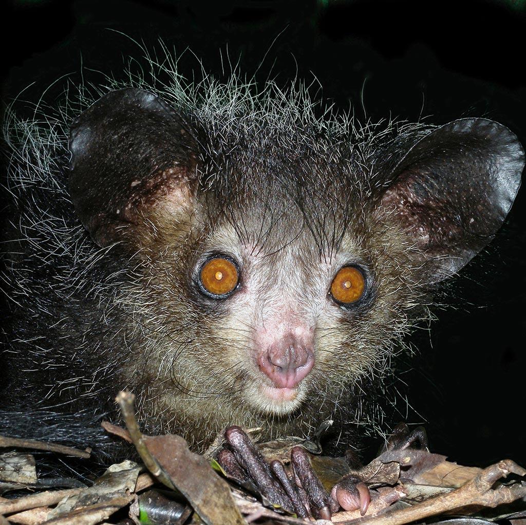 Ugliest Animals: Aye-Aye