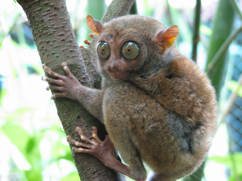 Ugliest Animals: Bohol Tarsier