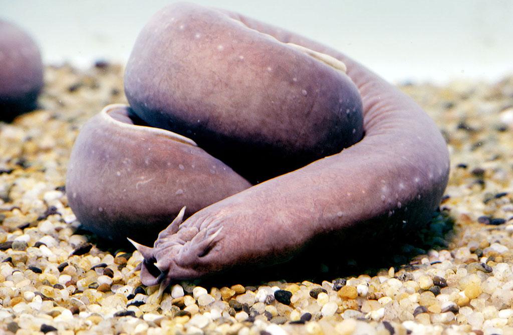 Ugliest Animals: Hagfish