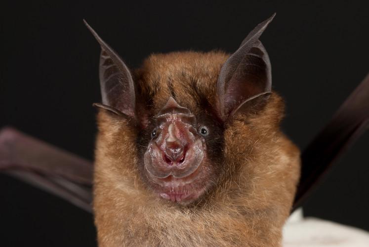Ugliest Animals: Horseshoe bat