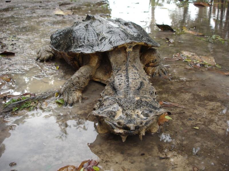Ugliest Animals: Mata Mata Turtle