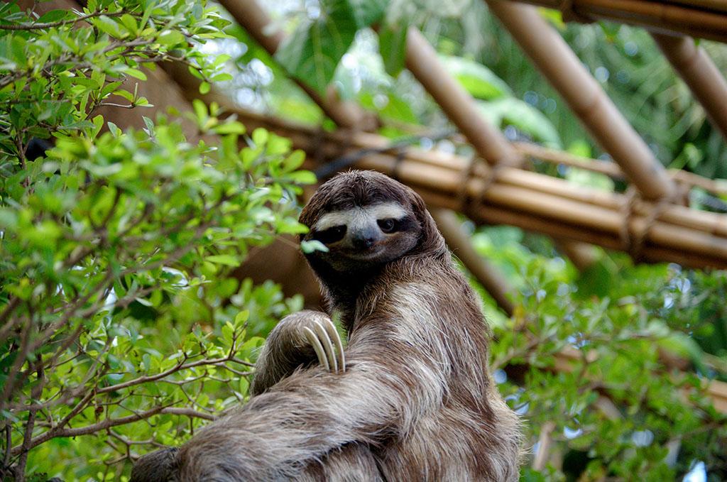 Ugliest Animals: Sloth